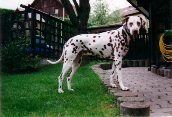 Dalmatiner Daphne
