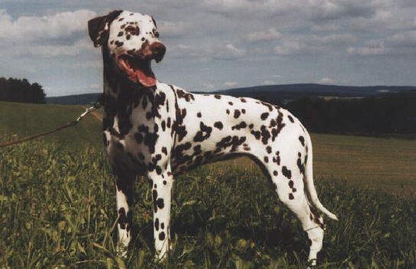 Dalmatiner Dayka