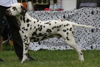 Dalmatiner Earl Hunter vom Versunkenen Schloß