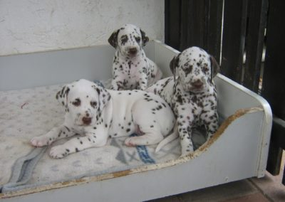Die kleinen Dalmatiner in der 5. Woche